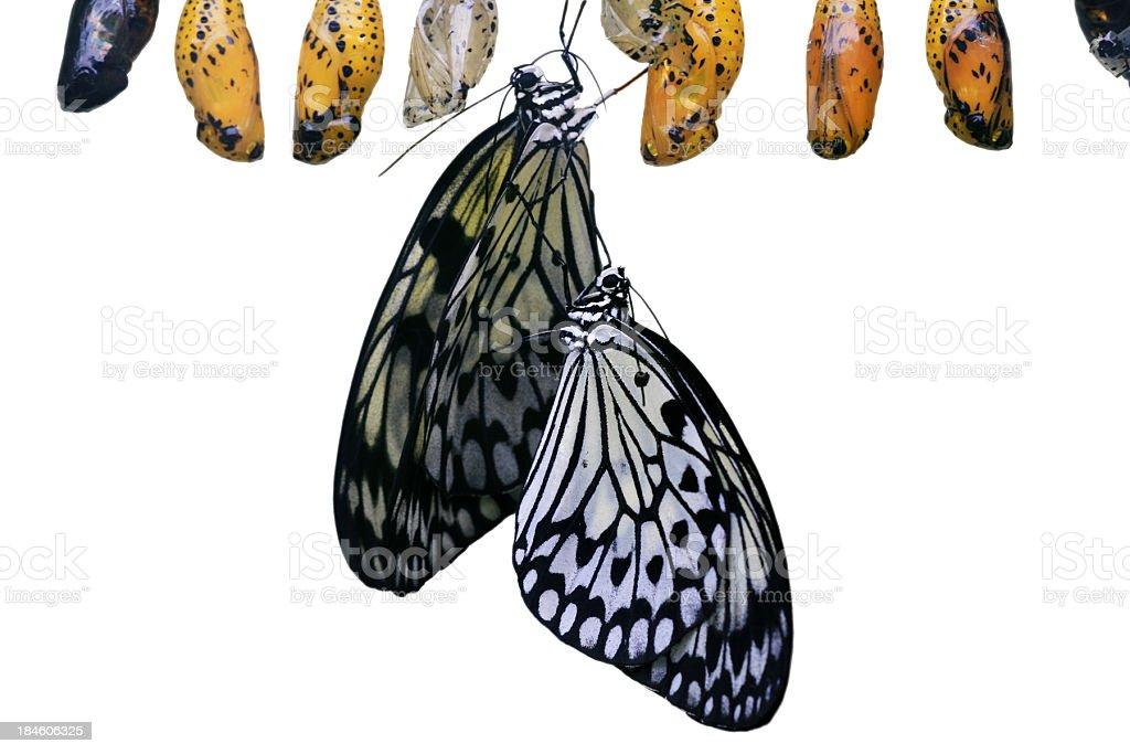 Two idea leuconoe butterflys stock photo