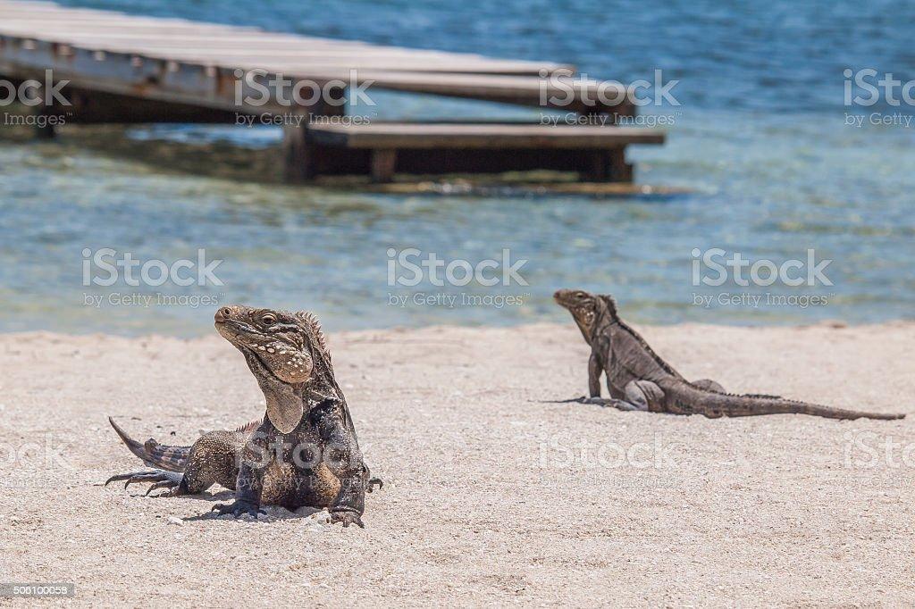 two iguanas on the beach stock photo