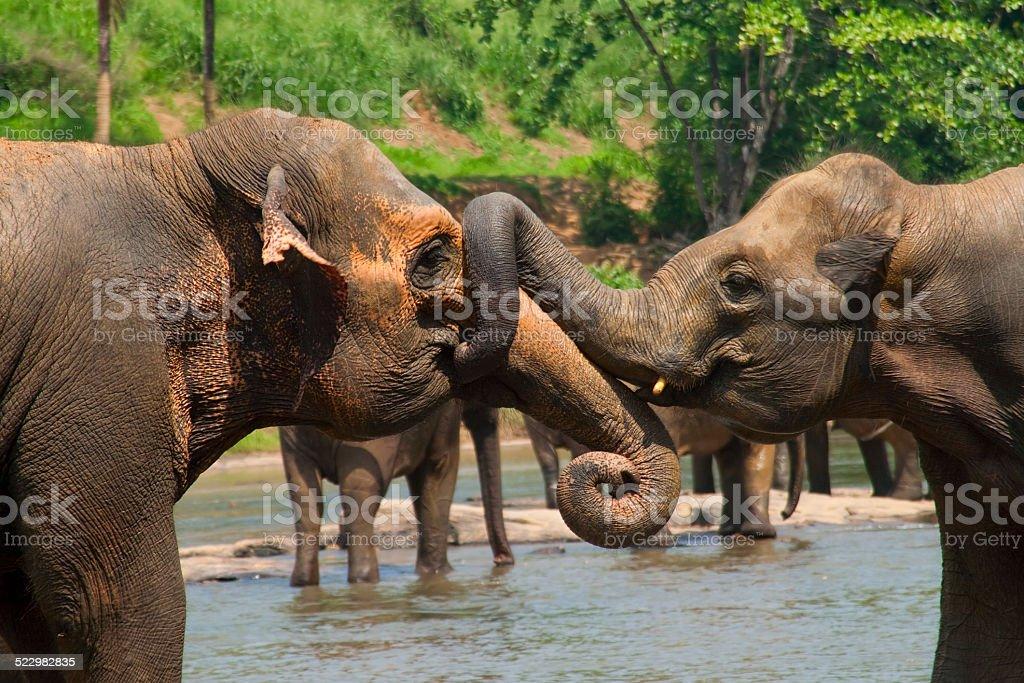 Two indian elephants fighting stock photo