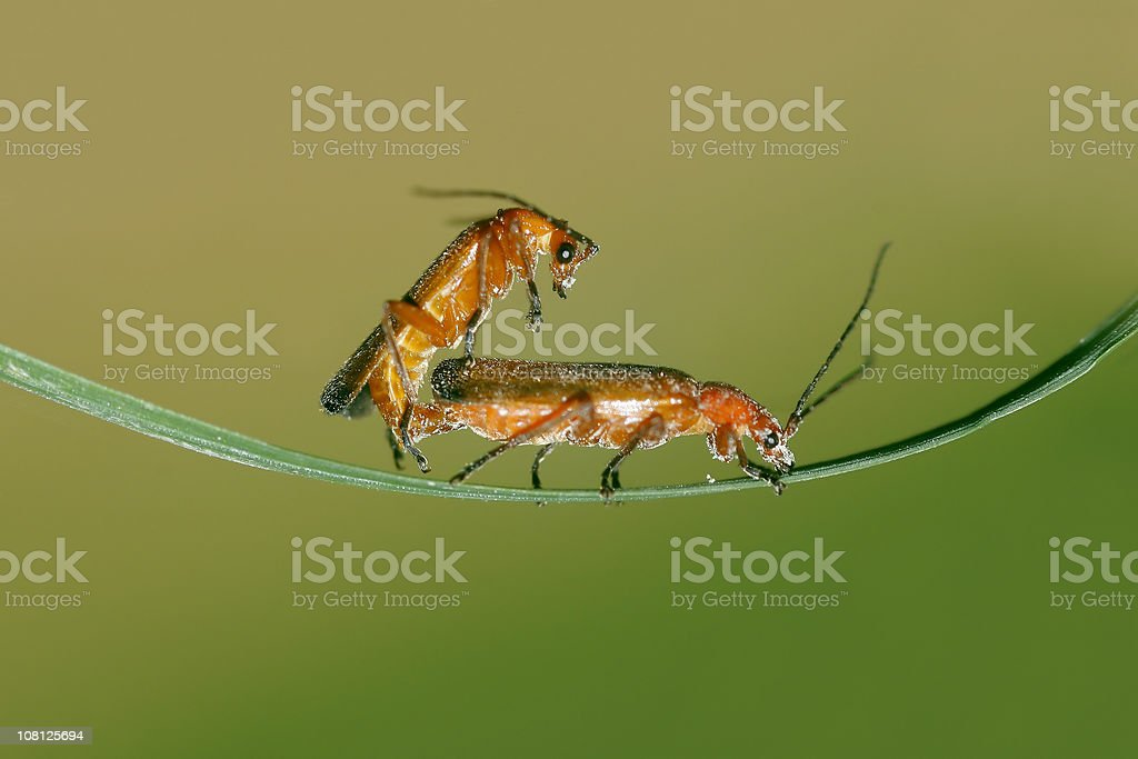 Two Insects Mating on Leaf stock photo