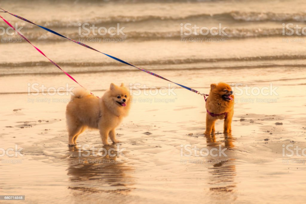 Two intercourse dogs are walking on the beach in the evening. stock photo