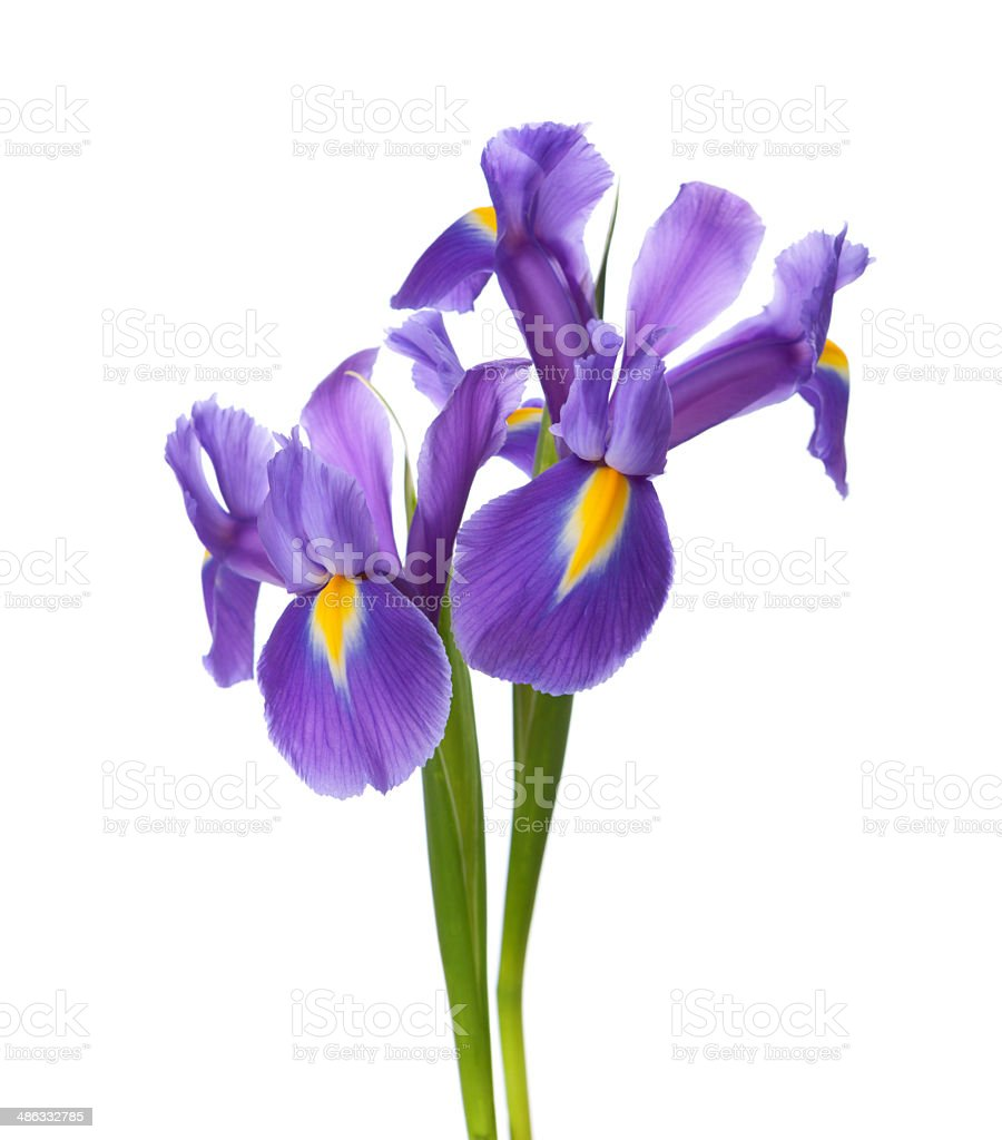 Two Irises stock photo