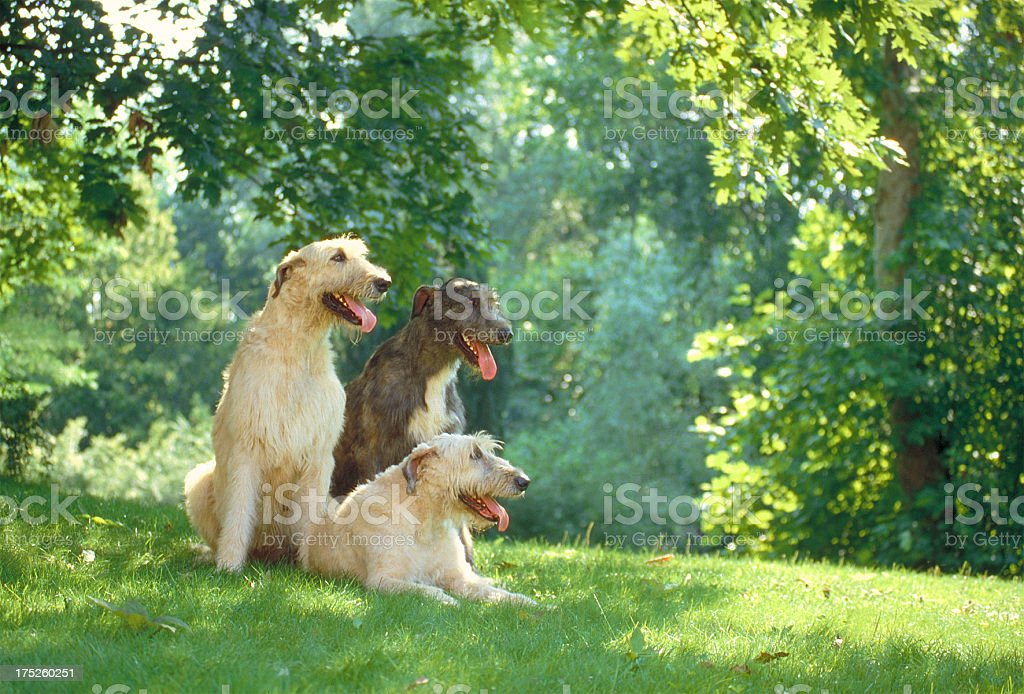 Two irish trerrier dogs in a meadow, side view stock photo