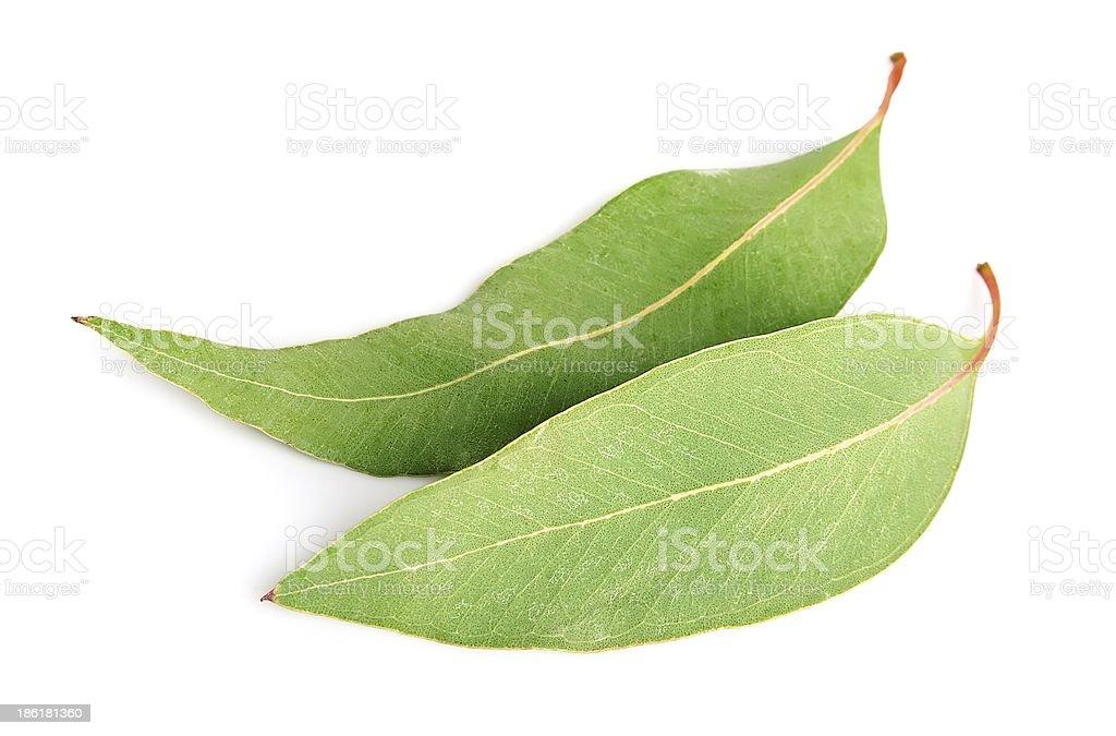 Two isolated eucalyptus leaves stock photo