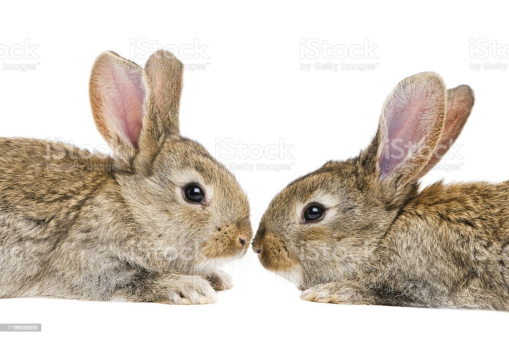 two isolated rabbits stock photo
