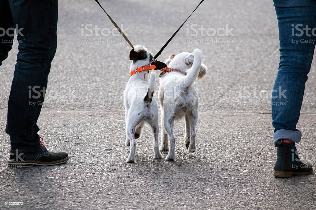 two jack russel terrier dogs from behind between their owners stock photo