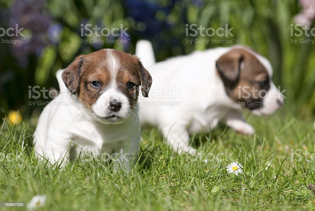 Two Jack Russell puppies playing in the lawn royalty-free stock photo