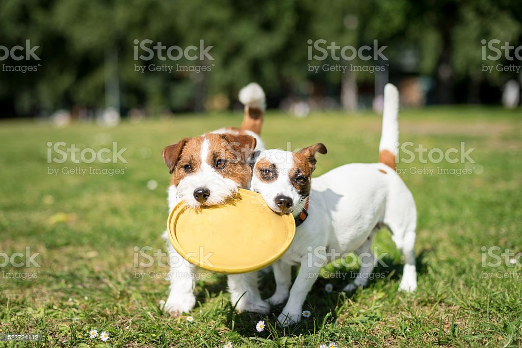 Two Jack Russell Terrier dogs stock photo