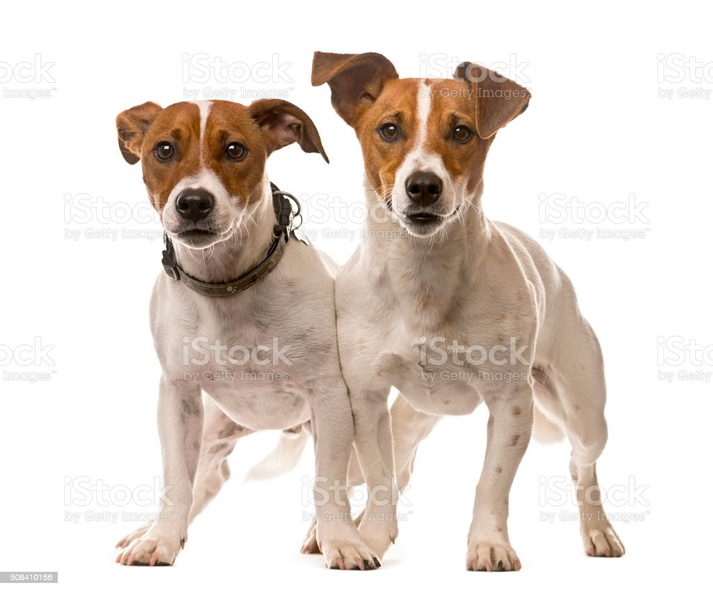 Two Jack Russell Terriers in front of a white background stock photo