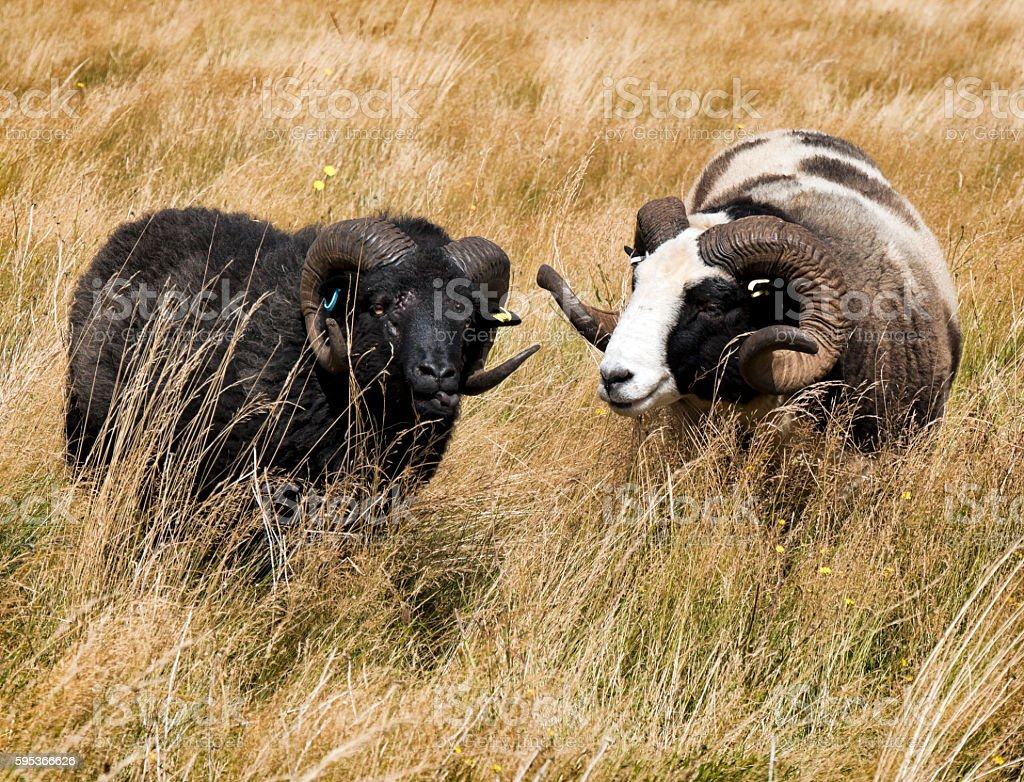 Two Jacob sheep in long grass stock photo