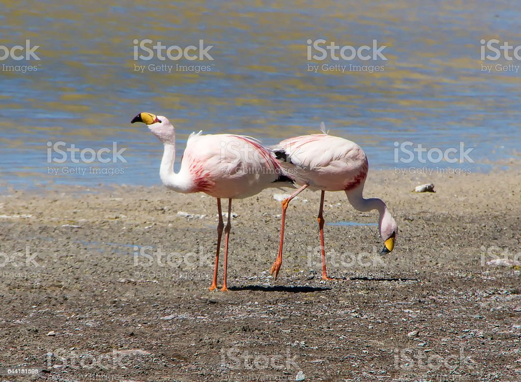 two James's flamingo  on the background of the Alpine lakes in the Bolivian Andes stock photo