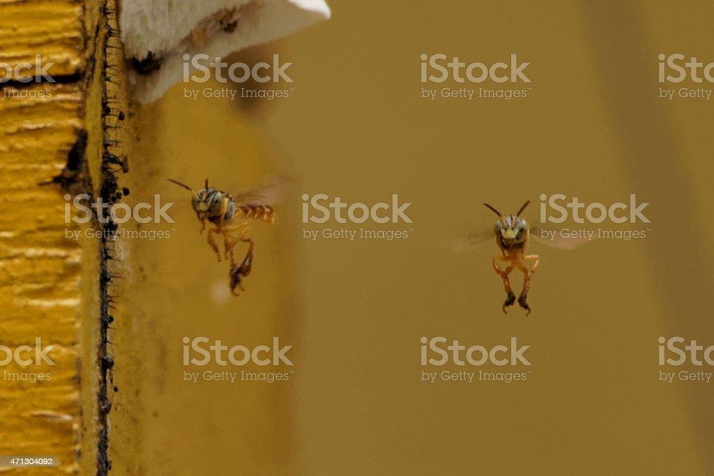 Two Jatai bees flying around stock photo