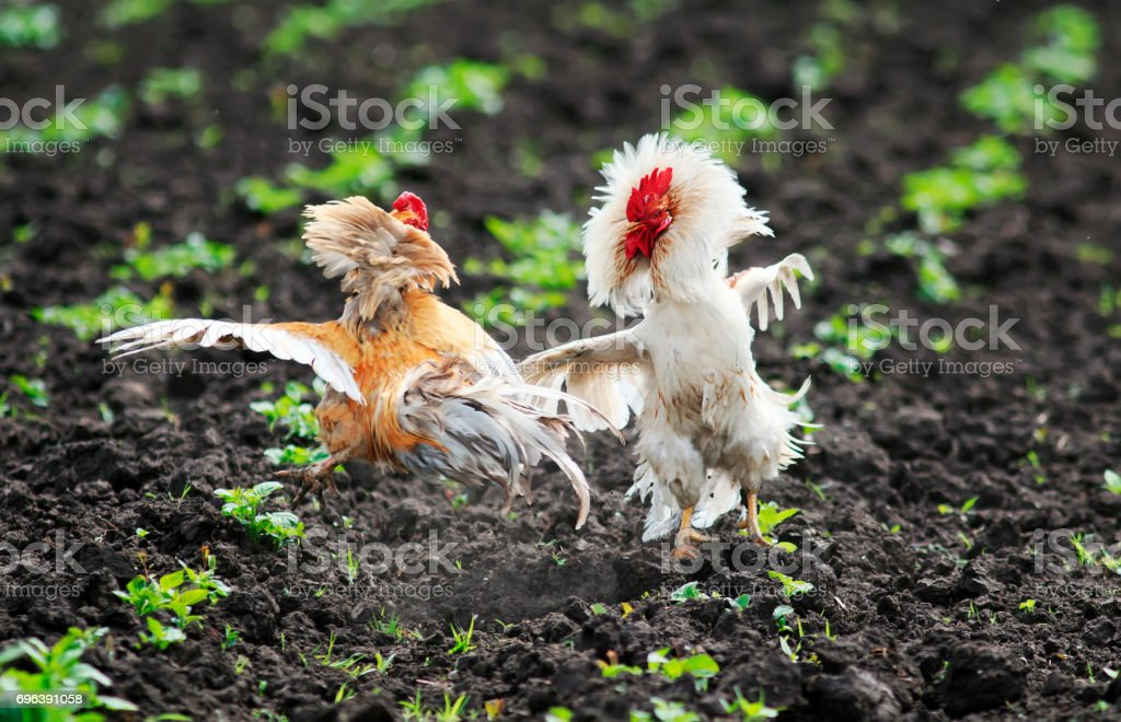 two jaunty rustic rooster fighting spread its wings and feathers and flying high on the farm yard stock photo