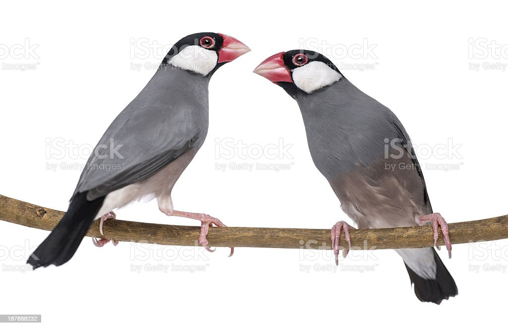 Two Java Sparrow perched on a branch - Padda oryzivora royalty-free stock photo