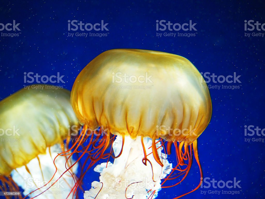 two jellyfish royalty-free stock photo