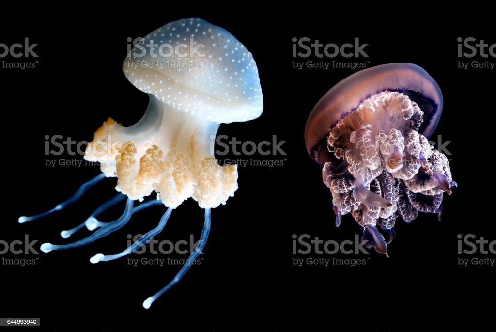 Two Jellyfish species over black background stock photo