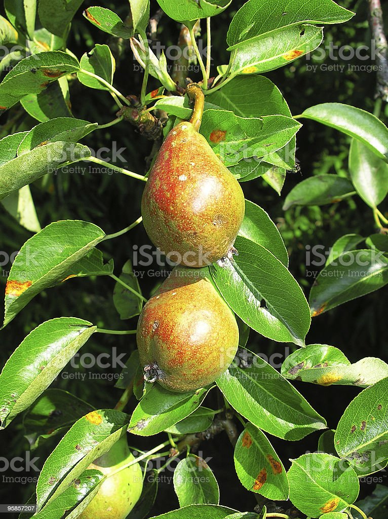 Two juicy pears on the tree royalty-free stock photo