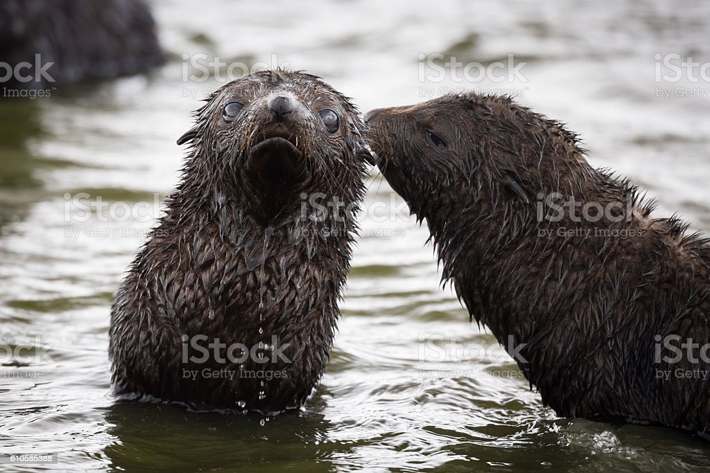 Two Juvenile Fur Seals play in the water stock photo