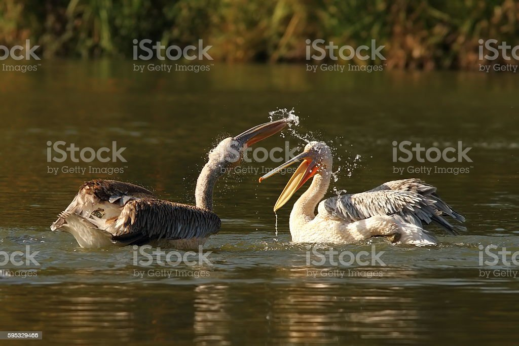 two juvenile great pelicans splashing each other stock photo