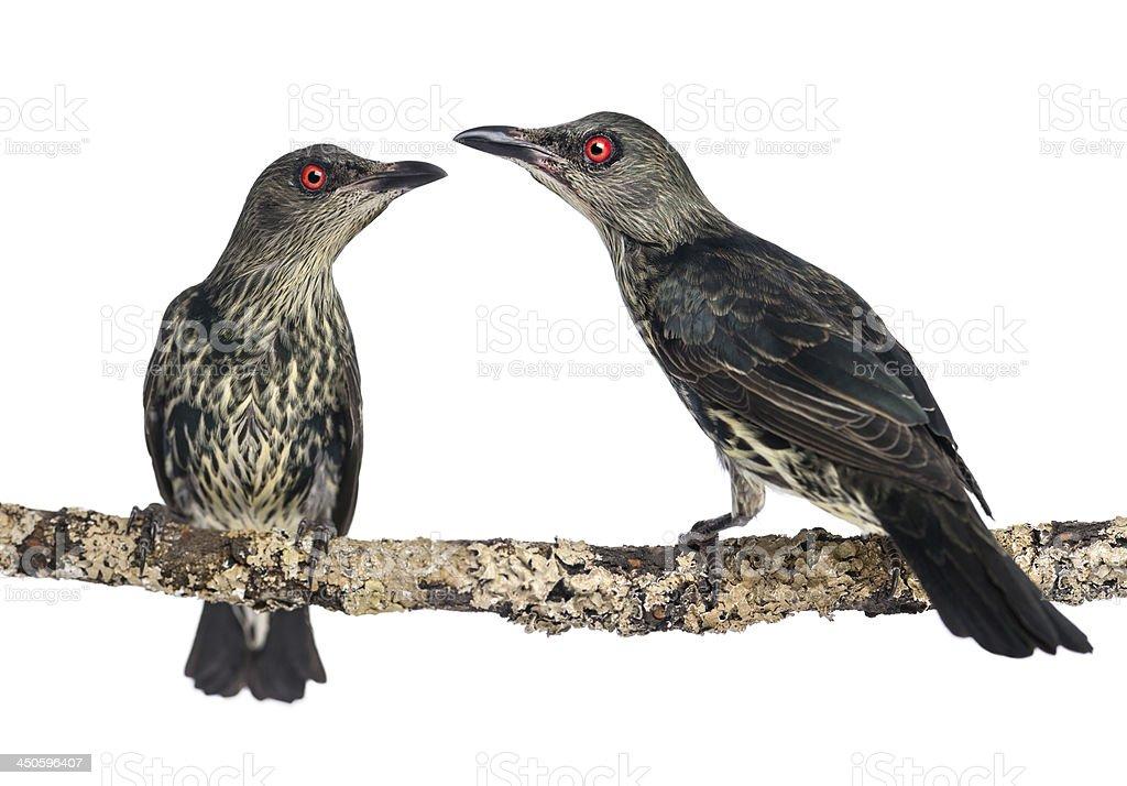 Two Juveniles Metallic Starling - Aplonis metallica stock photo