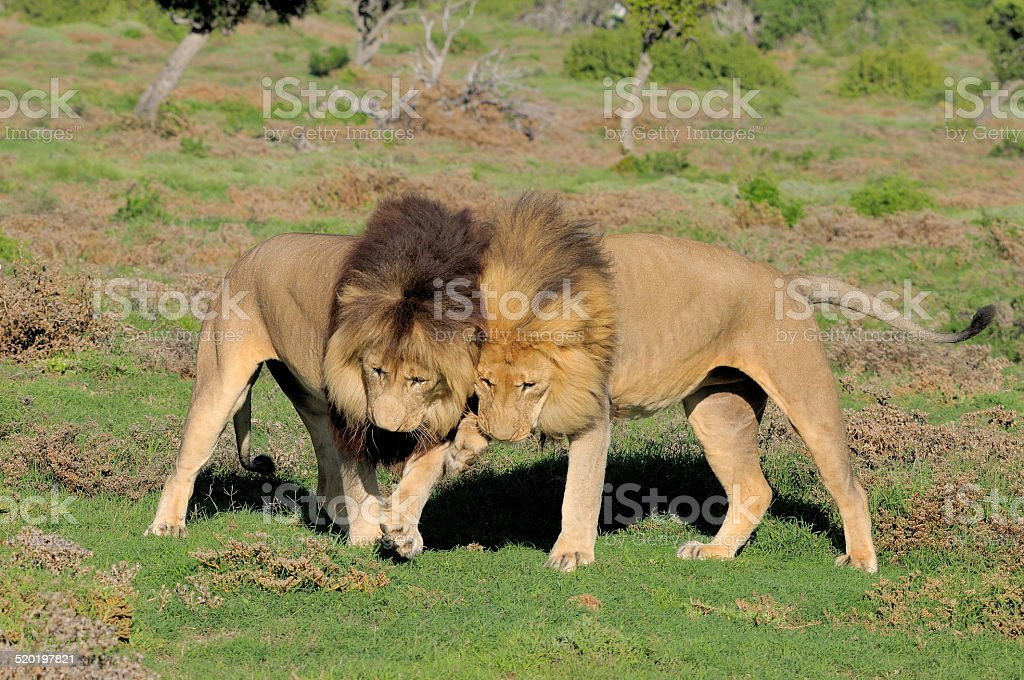 Two Kalahari lions playing in the Addo Elephant National Park stock photo