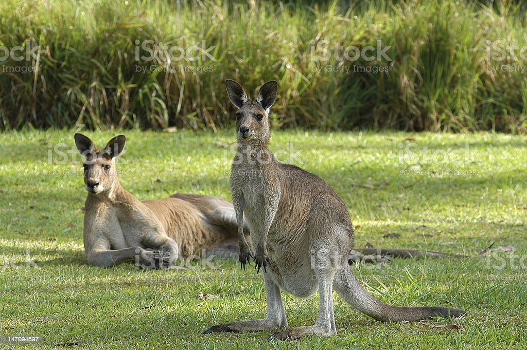 Two Kangaroos, Australia in Green Field. One Stands, Another Rests. royalty-free stock photo