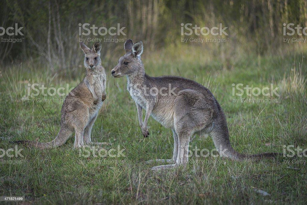 Two Kangaroos, Australia, in the wild royalty-free stock photo