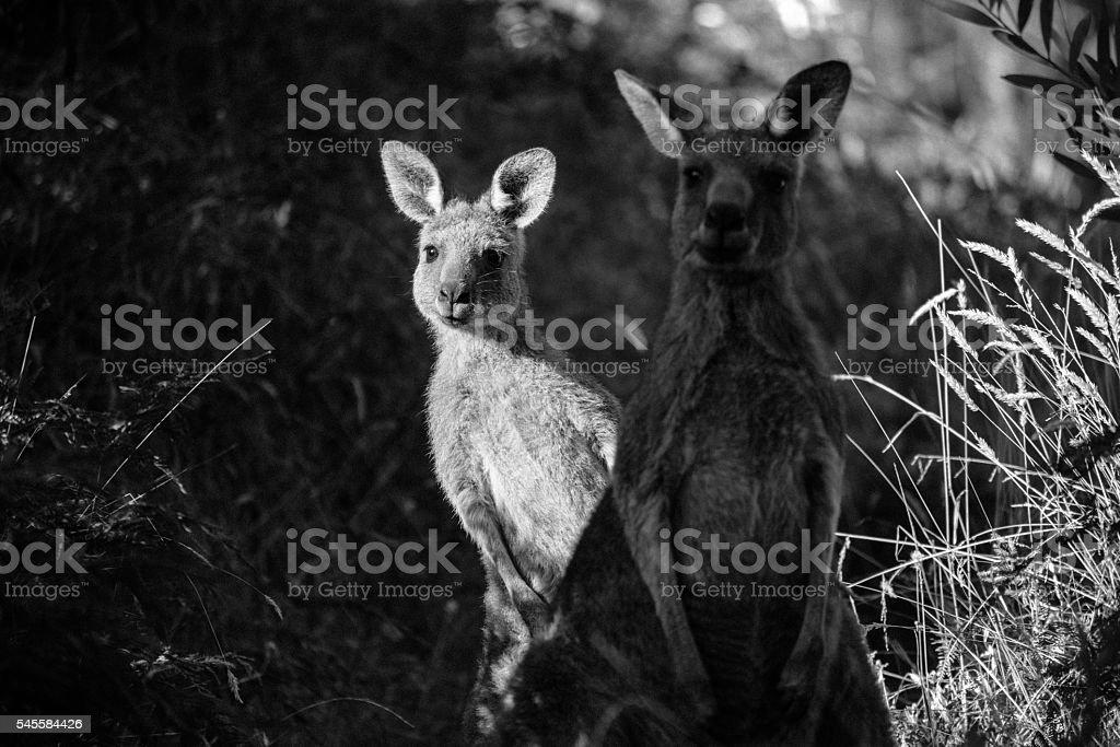 Two kangaroos stock photo