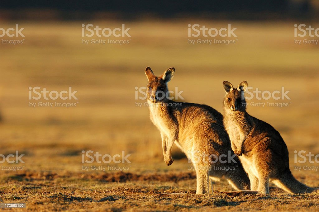 Two kangaroos posing for a photo in the evening stock photo
