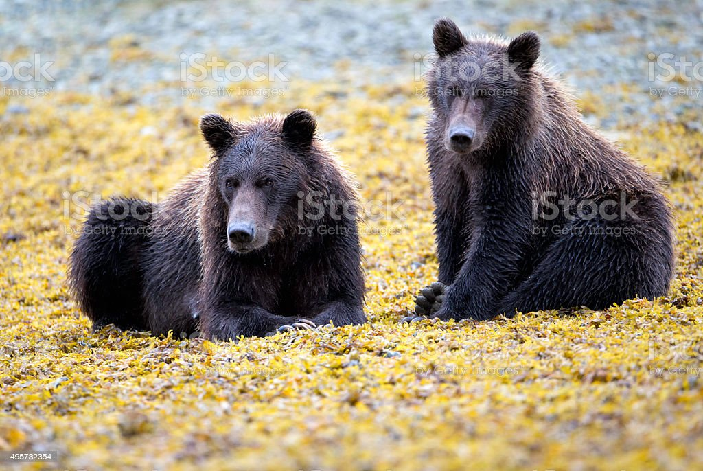Two Katmai Coastal Brown Bears stock photo