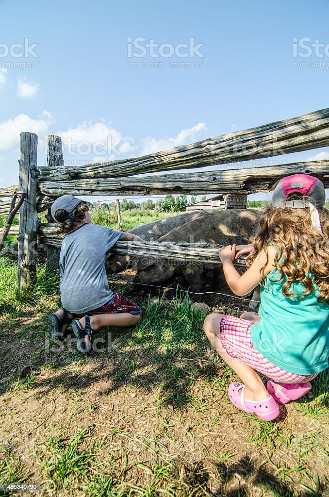 Two kids looking at pigs over fence stock photo
