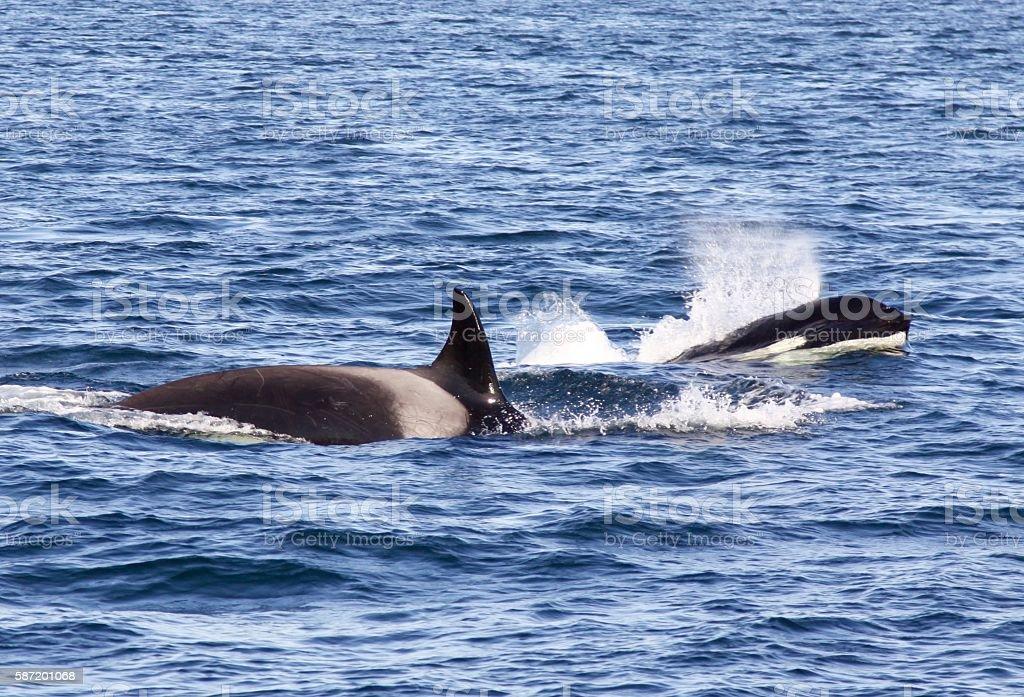 Two Killer Whales Breaching stock photo