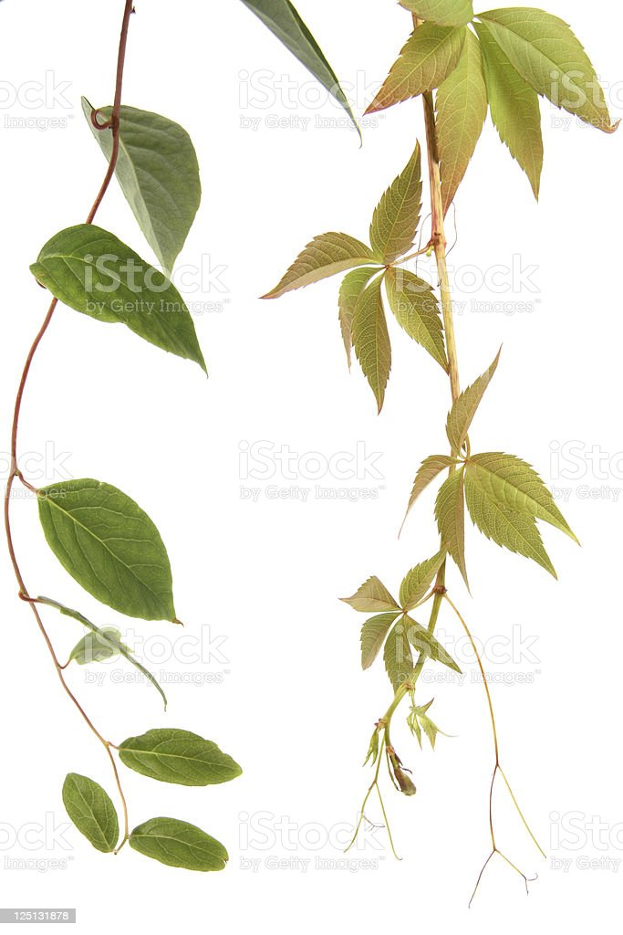 two kind of creeper plants stock photo