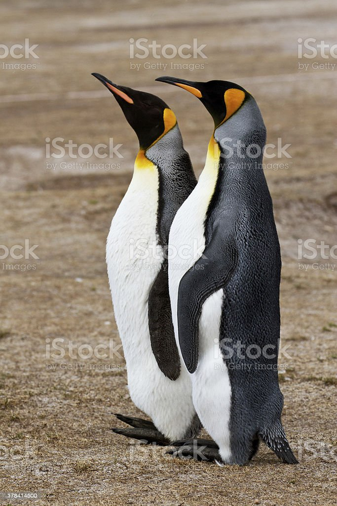 Two King penguins are friends, Falkland Islands royalty-free stock photo