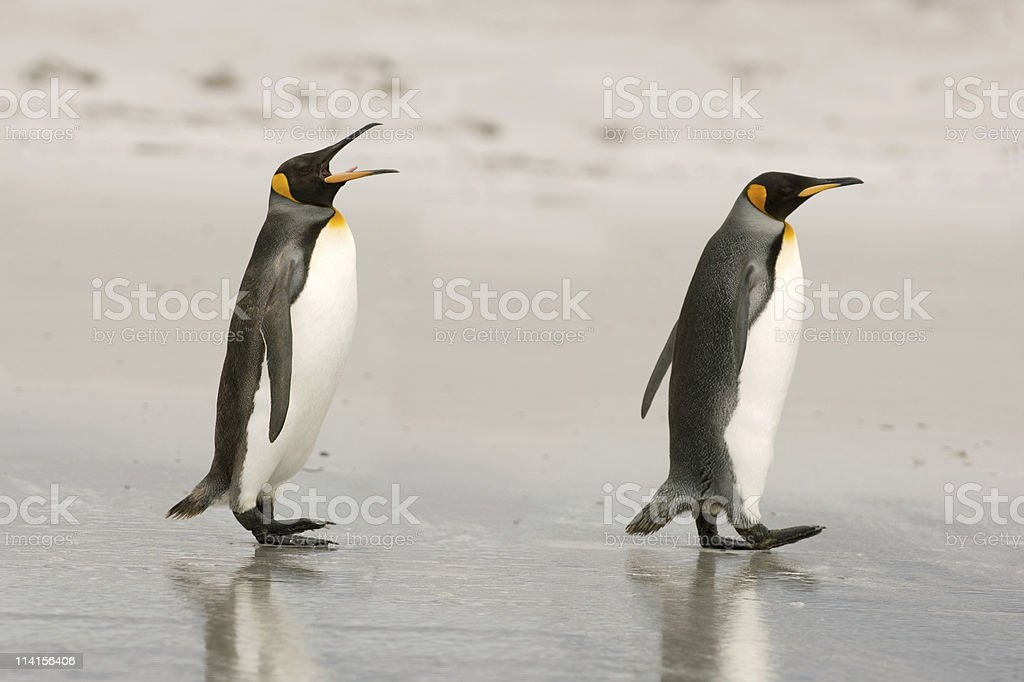 Two King Penguins chatting on the beach stock photo