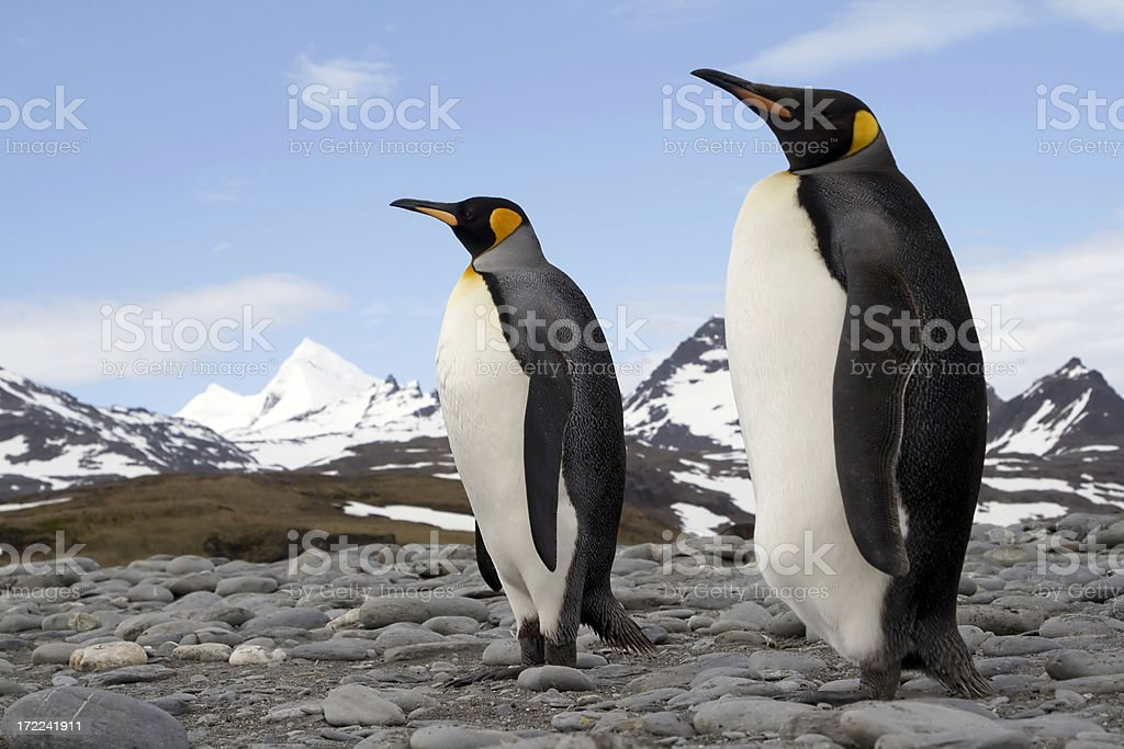 Two King Penguins stock photo