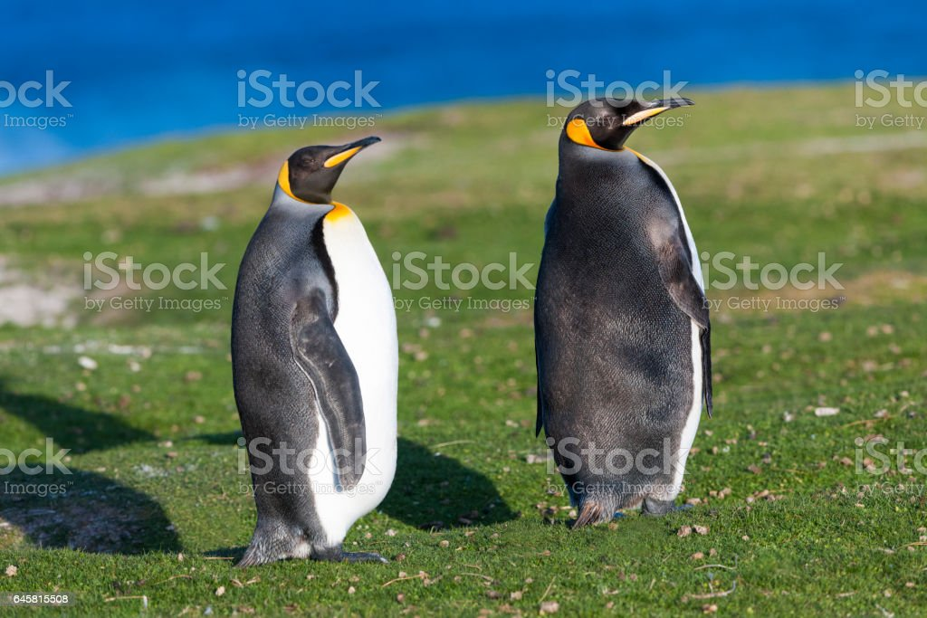 Two King Penguins Sunning Themselves on the Falkland islands stock photo