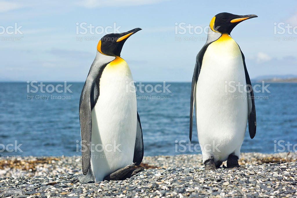 two king pinguins near sea stock photo