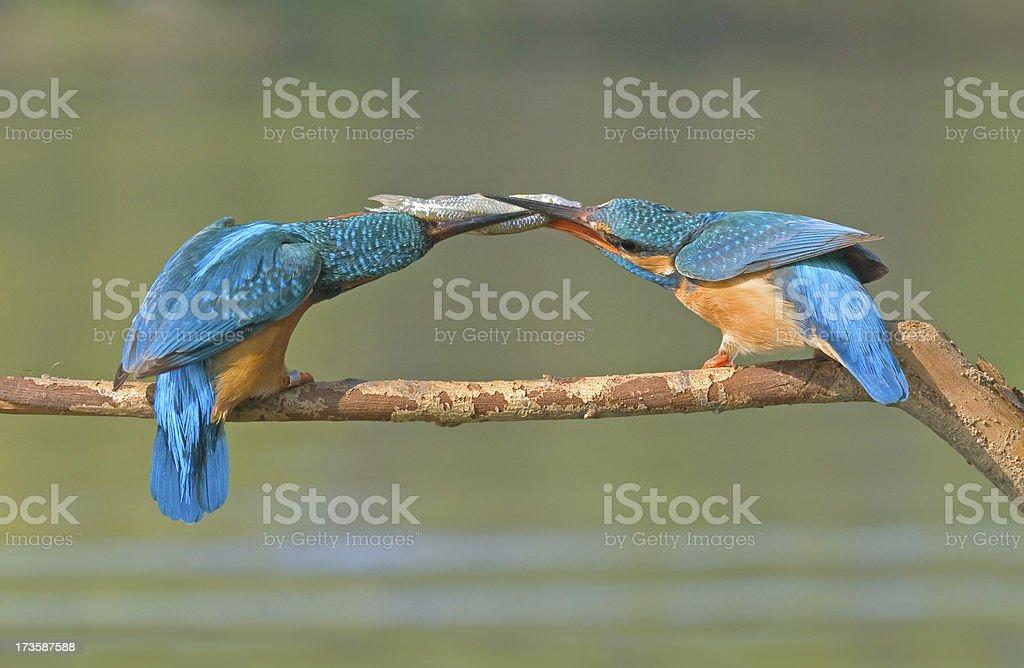Two Kingfisher stock photo