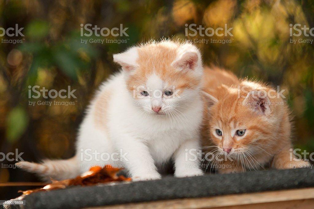 Two kitten royalty-free stock photo