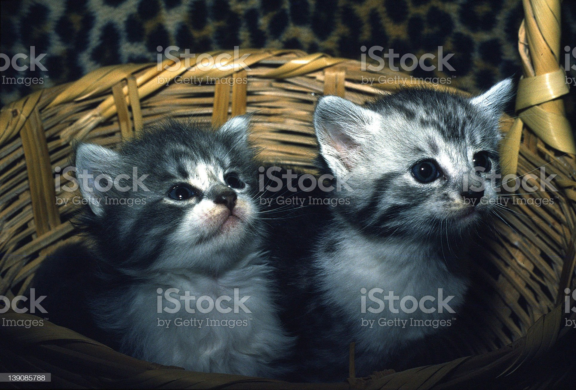 Two kittens in a basket royalty-free stock photo