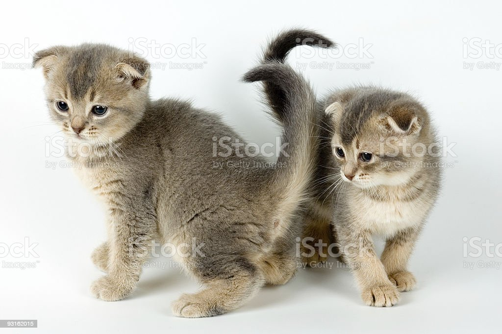 Two kittens royalty-free stock photo