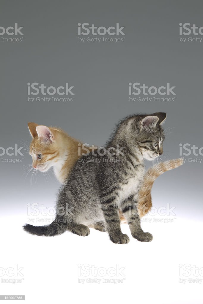 Two Kittens sit opposite in a symmetrical pose. royalty-free stock photo