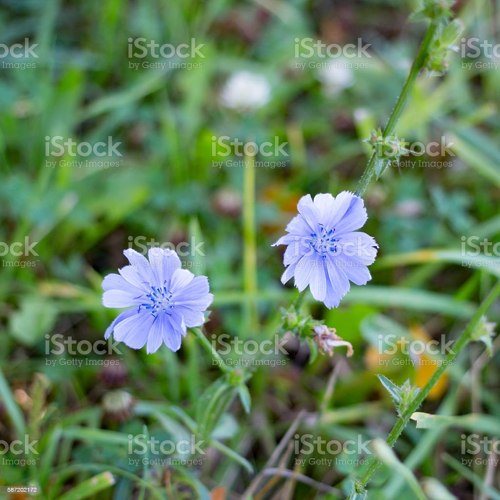 Two knapweed flower close up in summer stock photo