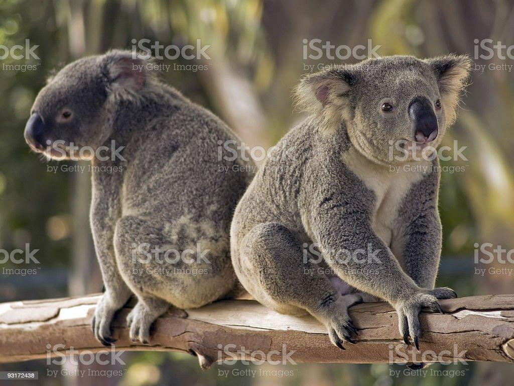 Two Koalas stock photo