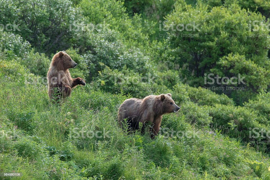 Two Kodiak Grizzly (Brown) Bear in Field stock photo