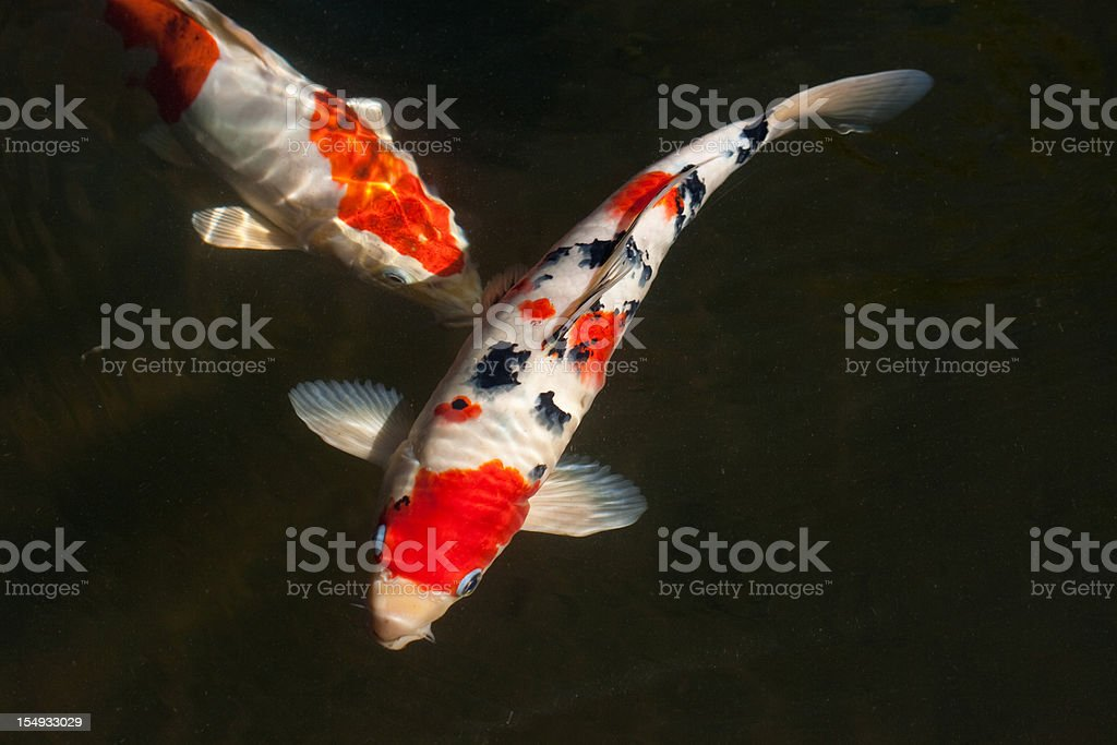 Two koi fish stock photo