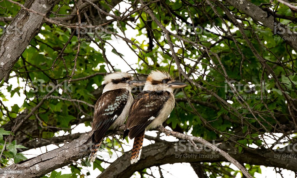 Two kookaburra sitting in a tree stock photo