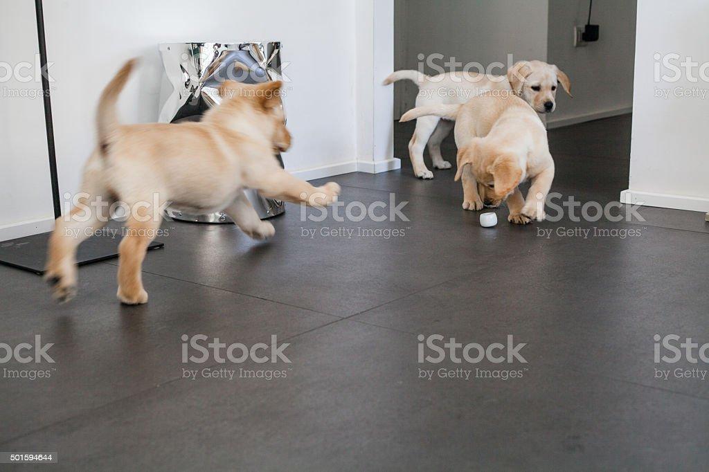 Two Labrador Pupply Playing stock photo