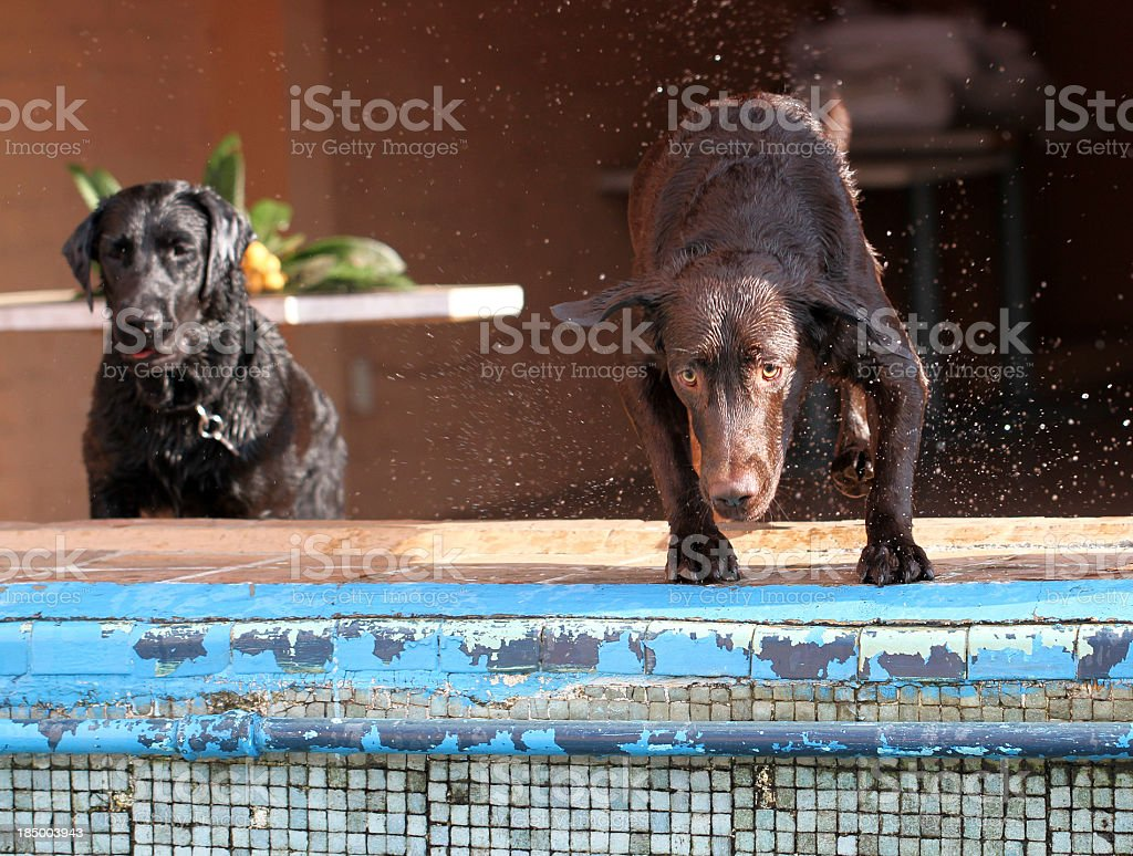 Two labrador retriever stock photo